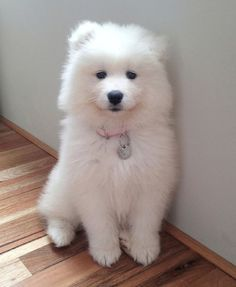 If you're looking for big fluffy dog breeds to love and adore, then this list is what you need. Large dogs can be quite intimidating, but with lots of fur and cute faces, they can become some of… Super Cute Puppies, Cute Baby Dogs, Cute Dogs And Puppies, Doggies, Tiny Puppies, Corgi Puppies, White Fluffy Dog, Big Fluffy Dogs, White Dogs