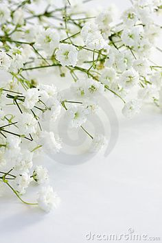 Gypsophila Babys Breath Babys Breath Flowers White Flowers