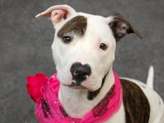 TO BE DESTROYED 10/9/14 Manhattan Center -P  My name is SNOW WHITE. My Animal ID # is A0968331. I am a female white and brown pit bull mix. The shelter thinks I am about 2 YEARS old. *** returned on 9/27/14 ***  I came in the shelter as a OWNER SUR on 09/27/2014 from NY 10467, owner surrender reason stated was BITEPEOPLE.