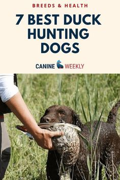 Retrieving Dog Breeds to Know - One of the most amazing talents some dogs possess is the ability to fetch items and bring them back to their owner, such as when duck hunting. This retrieving instinct is particularly well-developed in a small number of dog