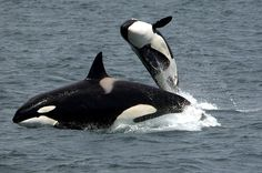 Killer Whales, Orcas, Breaching, Jumping, Nature