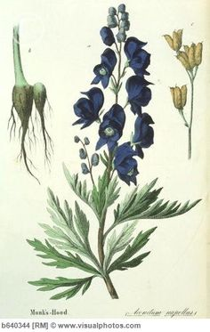 """Flower: Aconite (wolfsbane); Meaning: Misanthropy in Victorian sense. In Latin, Aconitum means """"poisonous flower"""" and in Greek mythology, the plant was thought to have sprung from the drops of spittle of Cerberus, the three-headed dog of the Underworld"""
