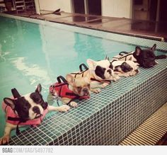 Frenchies learning to swim. So cute and funny!