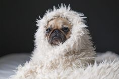 Pugs on pugs on pugs on pugs on pugs. WE LOVE PUGS. In this awesome dog compilation by petsami check out some of our favorite pug moments from the petsami vault Best Dog Breeds, Best Dogs, Cool Cats, Faux Fur Area Rug, Cool Dog Houses, Thing 1, Pug Life, Dog Owners, Your Pet
