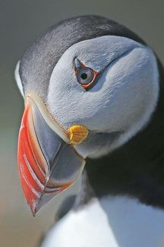 Gorgeous Puffin