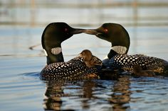 Gunflint Trail Common Loons