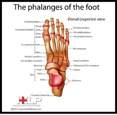 The phalanges of the foot