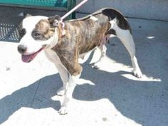 SNAP 9 – A1076633  FEMALE, BR BRINDLE / WHITE, PIT BULL MIX, 1 yr STRAY – STRAY WAIT, NO HOLD Reason STRAY Intake condition EXAM REQ Intake Date 06/07/2016, From NY 11226, DueOut Date 06/10/2016,