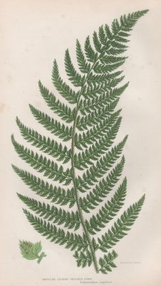 1855 Fern Botanical Print Vintage Lithograph Anne by Craftissimo