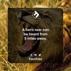 #factfoto #fact #facts #lion #roar #lionroar