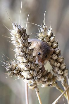 Field Mouse, Field Mice. Any of various small mice or voles, especially of the genus Microtus, inhabiting meadows and fields and often causing damage to crops. Also called meadow mouse.