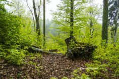 A walk in the lush Alpine forests of Safenwil, Switzerland, is very rewarding. Plus you also get to see ancient stone carvings.