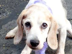 ~PRETTY 8 YR OLD GAL TO BE DESTROYED - 08/04/14~ Manhattan Center -P  My name is CLEO. My Animal ID # is A1008231. I am a female gray and white beagle mix. The shelter thinks I am about 8 YEARS old.  I came in the shelter as a STRAY on 07/27/2014 from NY 10461, owner surrender reason stated was STRAY.