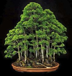 Bonsai forest via Club de Bonsaitas