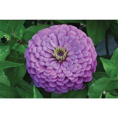 Flowered Violet Zinnia Giant Dahlia is an absolute must for the cutting garden. Similar color and habit of the Benary's Giant series but will produce 4 to 6 inch single, semi-double, and double flowers. Height 40 to 50 inches. Types Of Flowers, Cut Flowers, Purple Flowers, Summer Flowers, Summer Garden, Lawn And Garden, Spring Summer, Zinnia Elegans, Dahlia Flower