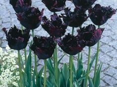 Gardening  10 Tulip Bulbs Parrot  Black Parrot Fall Planting Bulbs <3 Locate this gardening item simply by clicking the image