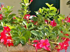 Dipladenia Mandevilla | Guida alla coltivazione con sucesso Green Nature, Botanical Gardens, Garden Design, Gardening, Bar, Gardens, Pink, Green, Garten
