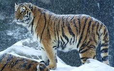 Big Tiger In Snow