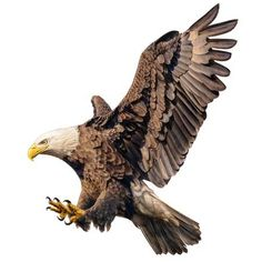 Picture of Bald eagle flying swoop attack hand draw and paint color on white background illustration. stock photo, images and stock photography. Dove Pictures, Eagle Pictures, Eagle Drawing, Eagle Wallpaper, Spiritual Paintings, Elephant Illustration, Eagle Art, New Background Images, New Backgrounds