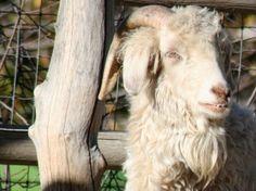 A Celebration of Angora Goats