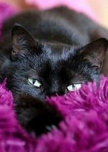 Black cat by celia Cute Kittens, Cats And Kittens, Ragdoll Kittens, Tabby Cats, Bengal Cats, Pretty Cats, Beautiful Cats, I Love Cats, Crazy Cats