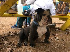 British Bulldog, Old English Bulldog, French Bulldog, Mans Best Friend, Best Friends, Animals And Pets, Cute Animals, Cute Bulldogs, Bull Dog