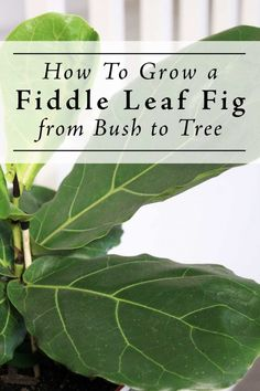 Yes, you can grow a Fiddle Leaf Fig bush into a tree form! Find out how including tips on watering, pruning, branching & getting the bare trunk. Fig Leaf Tree, Fig Leaves, House Plant Care, House Plants, Fig Bush, Hanging Plants, Indoor Plants, Indoor Gardening, Gardening Tips