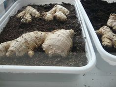 Growing Ginger, Green Beans, Garlic, Vegetables, Food, Craft, Biology, Grow Ginger, Creative Crafts