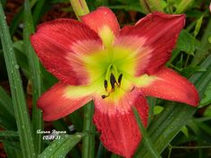 Photo of Daylily (Hemerocallis 'Aaron Brown') uploaded by mattsmom