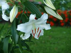 Another Casa Blanca Lily Oriental Lily, Fine Gardening, New York, Lilies, Day, Flowers, Color, Beauty, Gardens
