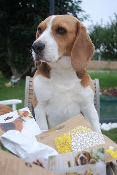 Is this all I get? Holy smokes... Carbon copy of my beagle opening presents... Next please...