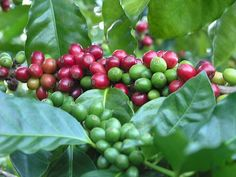 """The coffee bean is actually a seed, or pit, of the round, red """"cherry"""" fruit of a tropical evergreen shrub."""