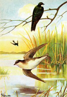Tree swallows illustration | Flickr - Photo Sharing!
