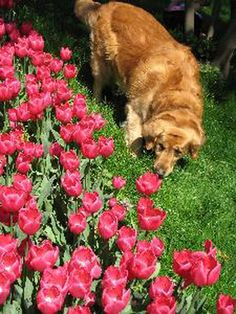 tulips and dog image by Ergün Özsoy from Fotolia.com