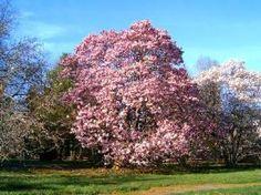 beautiful magnolia trees.