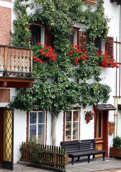 Espalier Pear Tree, Rose Windowboxes.