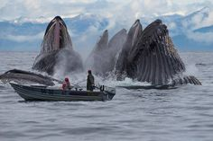 Humpback whales feeding... wow! Aloha www.oceandefenderadventures.com www.oceandefenderhawaii.com Photo by Jérémie Bergerioux Funny Pics, Hilarious, Funny Pictures, Trending Memes, Fresh Memes, Entertaining, Phone, World, Cute Animals