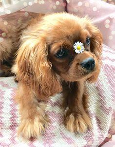 Cavalier King Charles Spaniël Ruby Flower Power - Cute Baby ⭐️ #cavalierkingcharlesspaniel