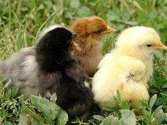 Многие опытные птицеводы-любители занимаются не просто выращиванием и содержанием кур на своем домашнем подворье, но и разводят на нем ремонтный молодняк.  http://kurinyjdom.ru/razmnozhenie-kurits/vyrashchivanie-remontnogo-molodnyaka.html