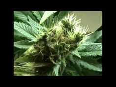 Medical Cannabis Documentary.  Very complete.  2 hours.