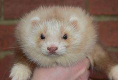 Image result for angora ferret