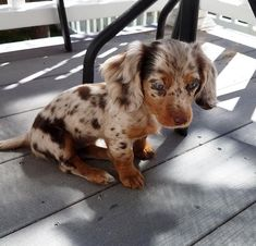 The Diverse Dachshund Breed - Champion Dogs Super Cute Puppies, Cute Baby Dogs, Cute Dogs And Puppies, Cutest Dogs, Baby Animals Pictures, Cute Animal Pictures, Animals And Pets, Cute Little Animals, Cute Funny Animals