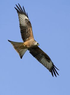 Kite. We spent all last Summer watching two pairs of red Kites, I tried to get pic but they were so high and fast. They are unbelievably beautiful.