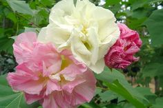 #Gardening Question: Why Didn't My Confederate Rose Bloom?