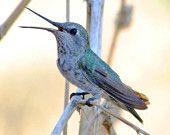 Hummingbird photo on etsy