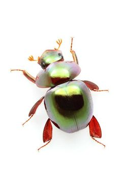 Ceratocanthus beetles are nature's transformers!