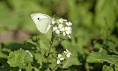 Sui bordi dello stagno di Sale Porcus - costa sud/sud-ovest - Nikon D700 con Nikon 200/400mm f/4 - iso 400 - focale 400mm  #guidofrilli farfalla cavolaia minore o rapaiola Pieris rapae (Linnaeus, 1758)