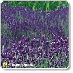 Lavender - growing Lavender - how to grow Lavender