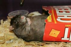 from cute rat pictures Ha ha!