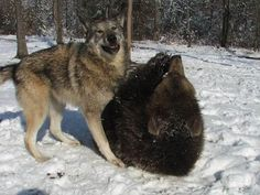 lil' bear and tala the wolf -- bffls http://www.buzzfeed.com/hunterschwarz/baby-bears-and-wolves-make-the-best-friends-6zgv#